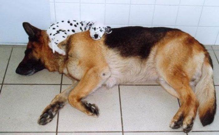 17 Perros Durmiendo En Posiciones Y Lugares Extraños | Mundo ES