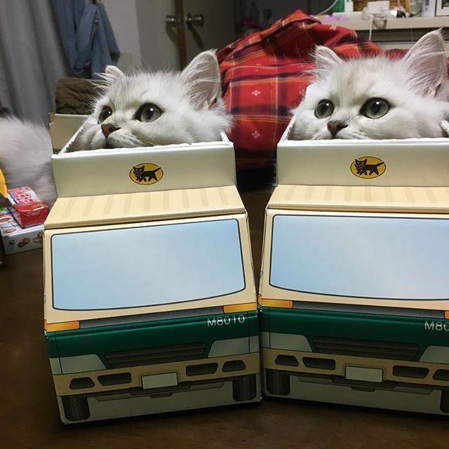 . 黒猫ヤマトの配達員さん達。 黒じゃなくて白が お届けにまいりました〜 黒やなくてごめんね〜  #ペルシャチンチラ #愛猫 #ペルシャ猫  #箱入り猫  #ニャンコスタグラム