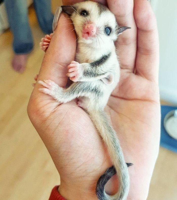Unknown and rare baby animals: the Kurzkopfgleitbeutler – Niedlich und schlau