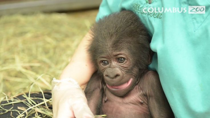 The world's first gorilla born in captivity died earlier this year. She was also the oldest gorilla in the world at the time of her death. The Columbus Zoo produced a video memorializing her incredible life.