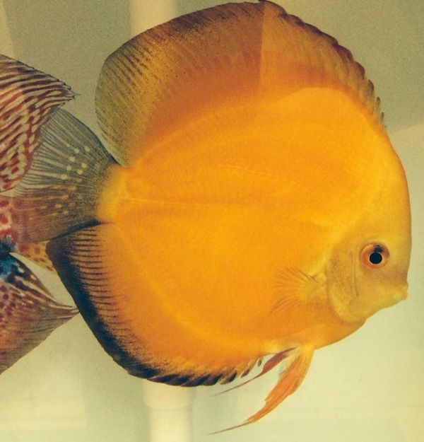 Discus fish for sale at Aquarist Classifieds