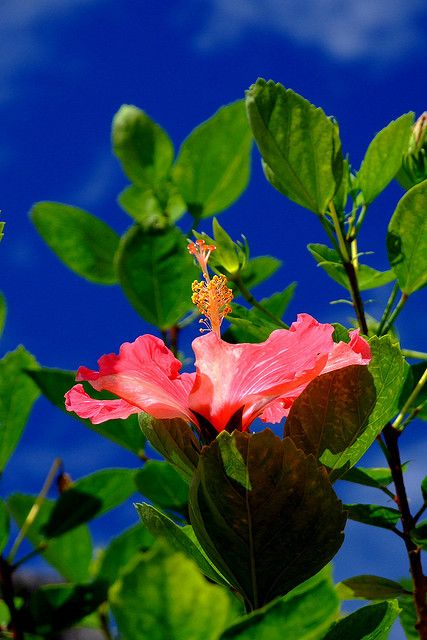 Hibiscus, or as i call them biscuits;o)