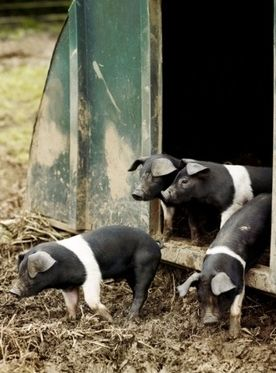 Three or four pigs. One for us (with ha freezer waiting) and three sponsored the neighbourhood.