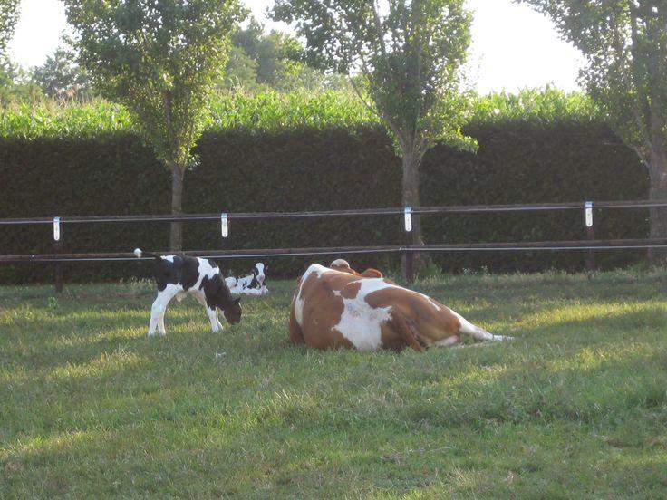 Www.uovalgo.it  la mucca #california con i suoi vitellini
