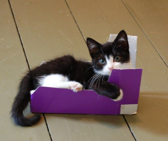 Mia the rescue tuxedo loves her new box at her foster home!