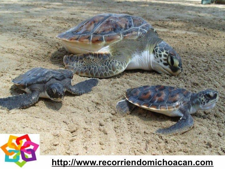 Michoacán mágico te habla sobre las medidas que se toman en la playa Ixtapilla para cuidar a las tortugas que llegan a desovar, se establece un sistema de vigilancia por parte de los pobladores , donde también participa la Marina Armada de México, la SERMARNAT, y algunas organizaciones civiles. HOTEL ALAMEDA http://www.hotel-alameda.com.mx/