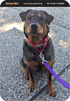 Baby | Adopted Dog | Plano, TX | Shepherd (Unknown Type)/Rottweiler Mix