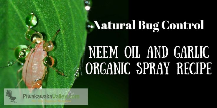 I am not a fan of pesticides, but sometimes the aphids or whitefly get too overwhelming. In that instance I reach for a batch of neem oil and garlic spray.