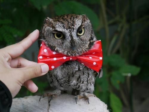 owl bow tie: Animal Pictures, Bows Ties, Stuff, Awesome Owls, Bow Ties, Fingers, Bowties, Hoot, Fancy Owls