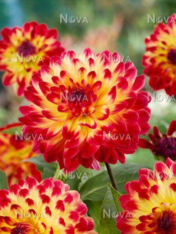 Dahlia-Sights-of-Summer.jpg (359×478)