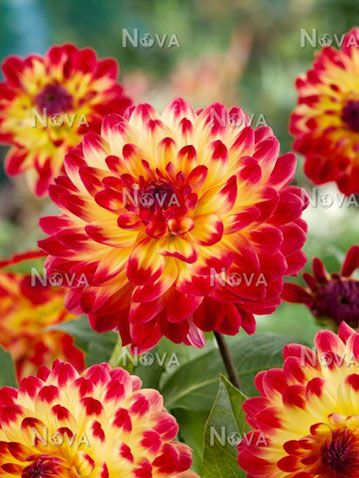 Dahlia-Sights-of-Summer.jpg (359×478)