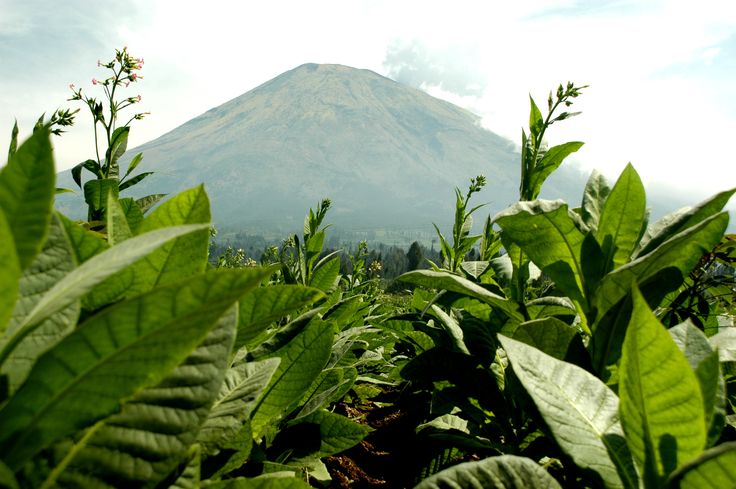 This is Mount Sindoro. Located in Temanggung, Central Java, Indonesia with a height of 3136 meters.  Sumbing's valley used for agricultural land. Many tobacco planted there. Tobacco from Sumbing very good and excellent quality, his name Srinthil. In 2011, tobacco reached IDR 160.000/kg.    And I lived there.