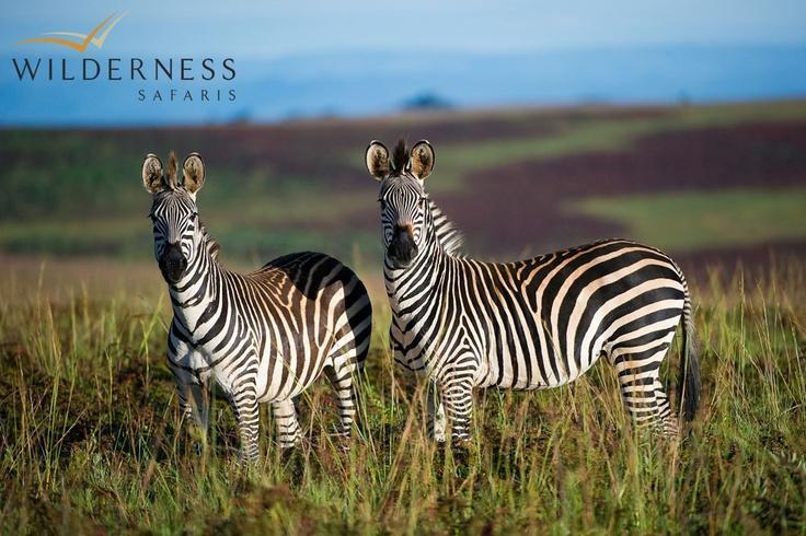 Chelinda Camp - Crawshay's zebra. #Safari #Africa #Malawi #WildernessSafaris