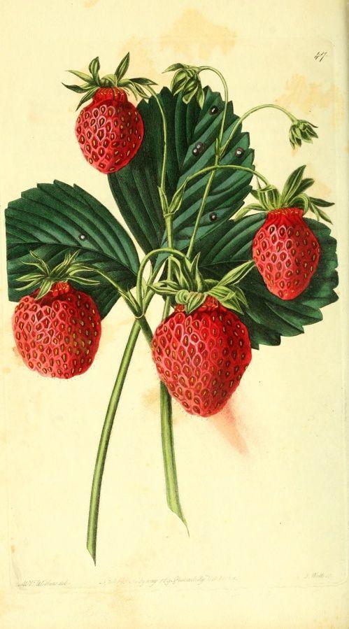 Botanical print of strawberries