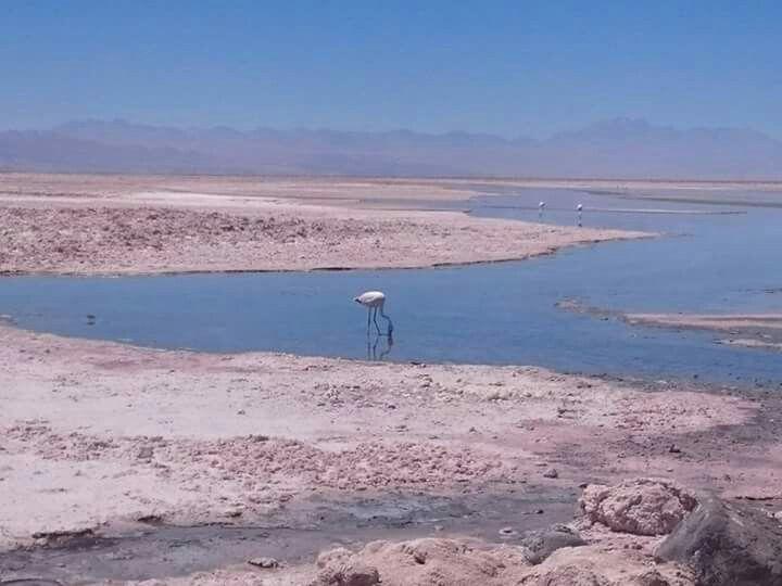Salar do Atacama. O terceiro maior do mundo. Flamingos, vespas, lagartixas, e crustacéos habitam nesse lugar.