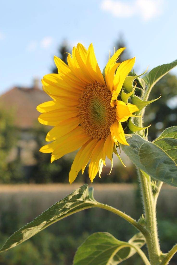 Moja láska slnečnica :)
