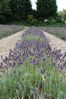 Once your lavender plant has had one year to establish itself, you will need to prune your lavender once a year. The best time to prune lavender is in the spring just as the new growth is starting to come in. The next step for trimming lavender is to prune off 1/3 of the plant. This will force the lavender to create new and more growth, which will not only keep the lavender bush from going woody, but will also help to increase the amount of lavender available for harvest later in the season.