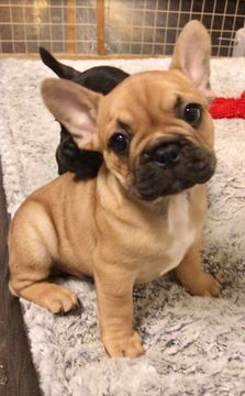 French Bulldog puppy for sale in AUSTIN, TX. ADN-65557 on PuppyFinder.com Gender: Male. Age: 10 Weeks Old