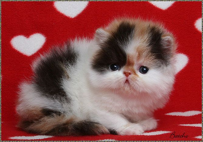 ... loves on Pinterest   Persian, Persian kittens for sale and Yorkie