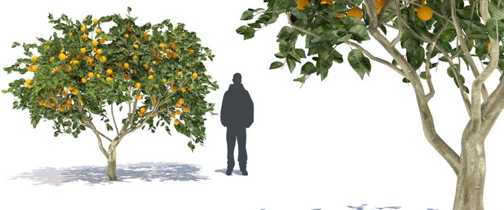 ORANGE TREE 3D fruit citrus tree 3D