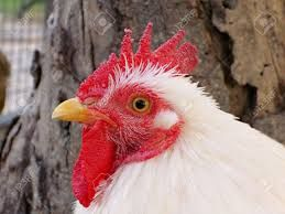 Image result for chicken head on