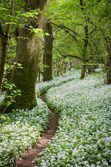thebeautifulandlovelythings: Camino a través del ajo salvaje - Milton Wood, Somerset, Reino Unido.  Identificación JBA_8547 por Jeff Bevan