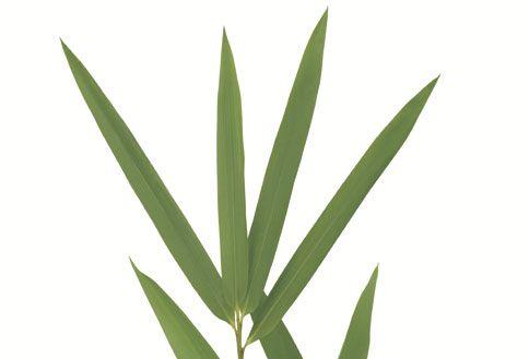 Bambu tuulahdus