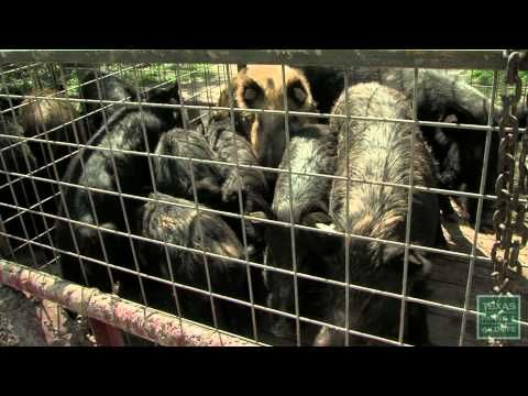 Hogs Wild - Fighting the Feral Pig Problem - Texas Parks and Wildlife [Official] - YouTube
