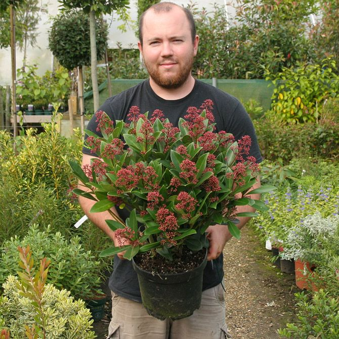 A male evergreen shrub with shiny dark green leaves, margined red. Fragrant white flowers open from dark red buds in spring followed by red fruit. Height 1m Spread 1m. Flower colour white.  Flowers from April to May. Fruit colour Red, fruits from June.