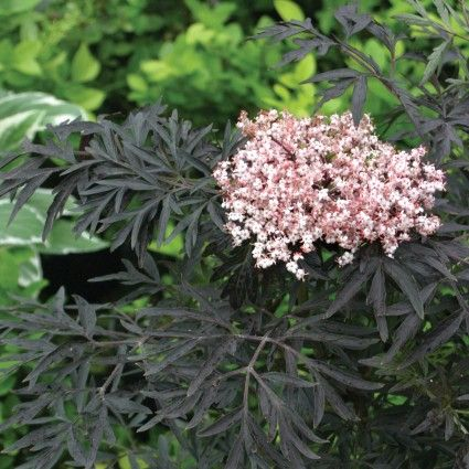 Black Lace #Elderberry can be grown as large #shrubs or small #trees. It has intense, dark purple (almost black) foliage. In summer, creamy #pink #flowers cover the shrub and shine against the deep leaf color. In fall, the flowers give way to edible deep red berries that can be used like typical elderberries, in wines and jams. If you leave them on the plant your #garden will be rewarded by the #birds that will come to take them off of your hands.