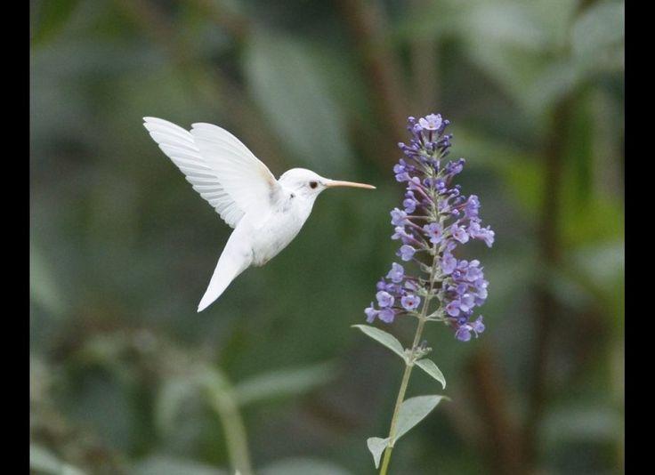PHOTOS: Mesmerizing Images Of Rare Albino Hummingbird