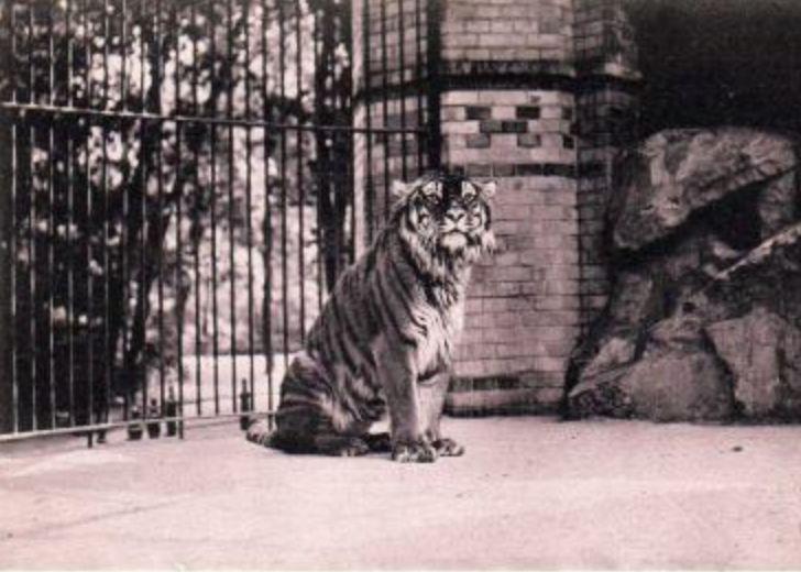 Kaspischer Tiger, Berlin