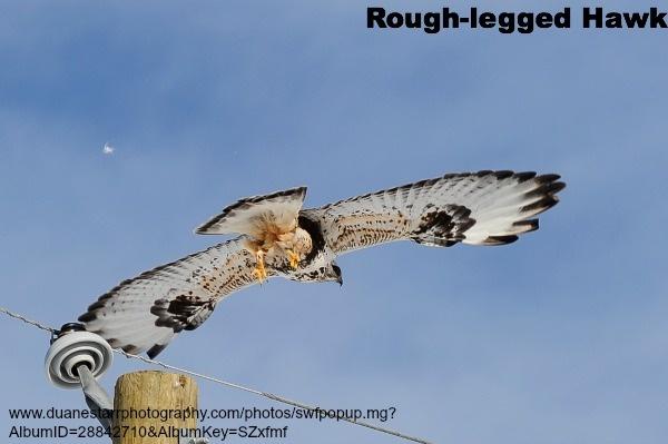 Rough-legged Hawk - Light Morph