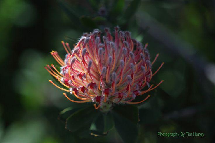 Scarlet Ribbon (Leucospermum glabrum) [21012]  www.timhoney.co.za