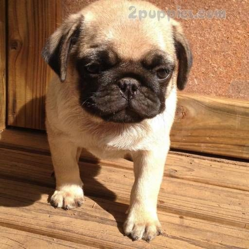 Find Your Dream Puppy Of The Right Dog Breed At Pug Dogs For