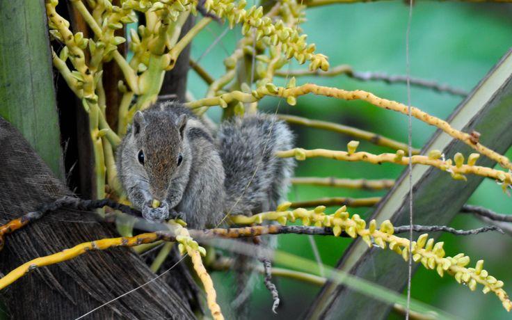 sri lanka - Squirrel