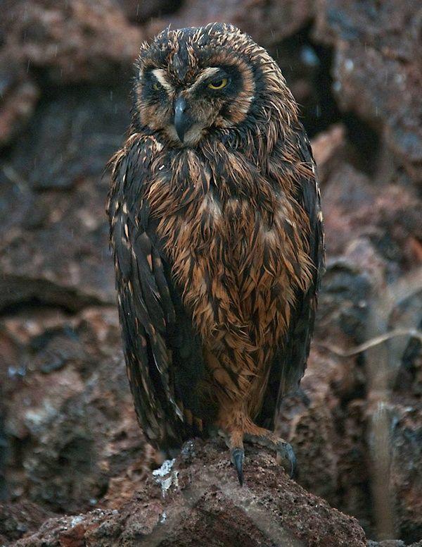 Galapagos Short-eared Owl (Asio galapagoensis). Photo by Hal Epstein.