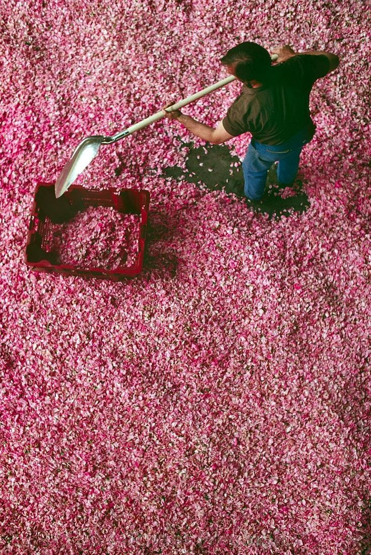 Drying petals for perfume in Grasse, France