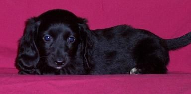 Solid Black Long Haired Dachsund Puppy