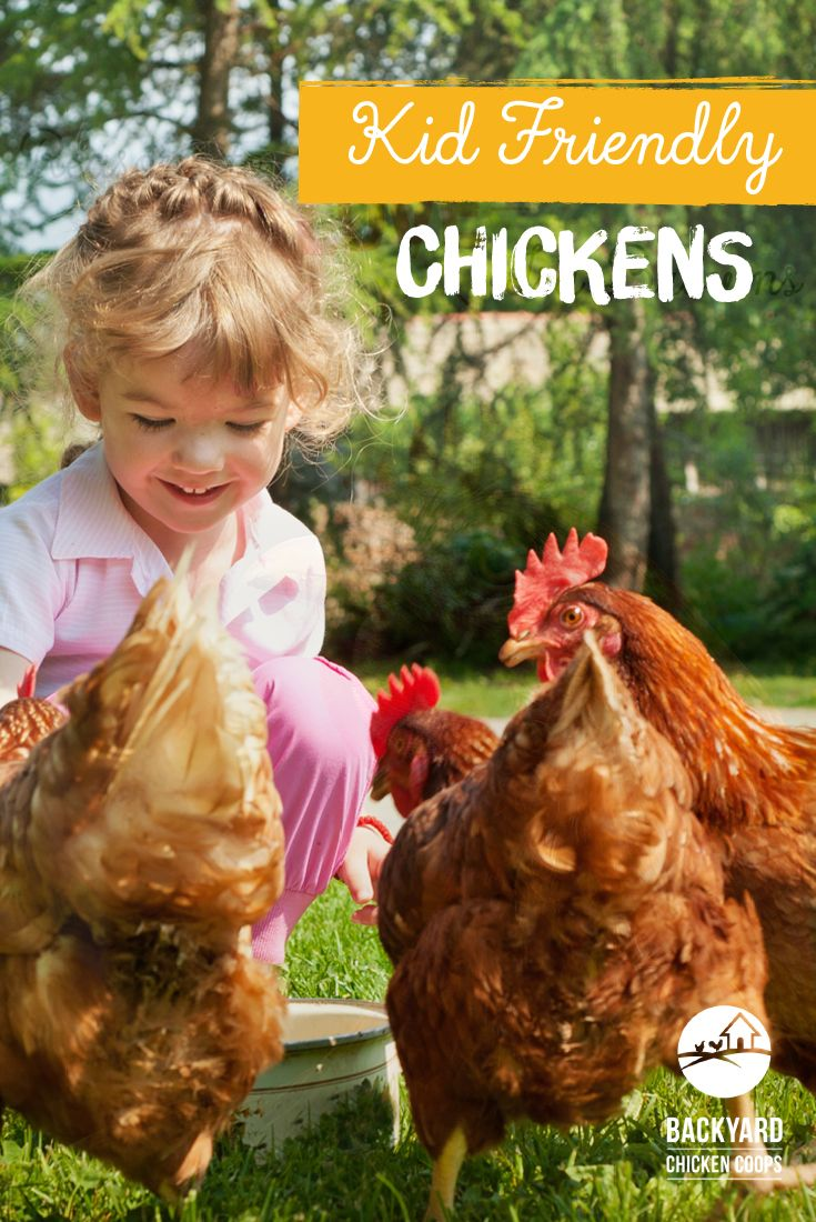 31 best isa brown chickens images on pinterest brown chicken