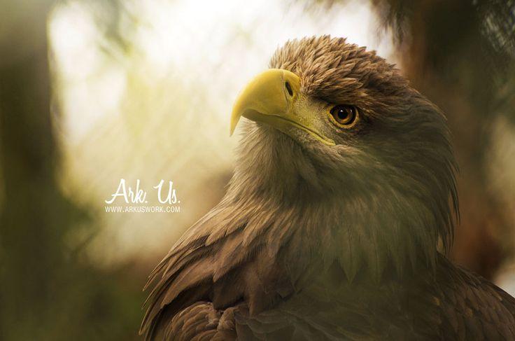 Eagle by Arkus83 on DeviantArt
