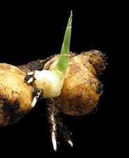 how to grow ginger from store bought root ... gonna have to try this