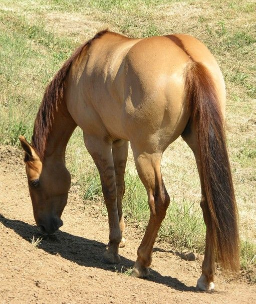 Dorsal Stripe On A Red Dun Horse. A Red Dun