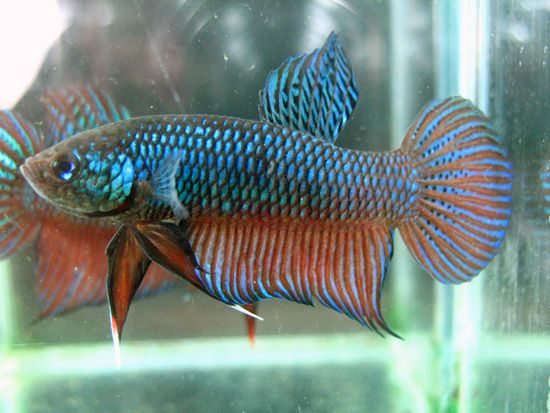 21 best images about reference gold fish on pinterest for Wild betta fish