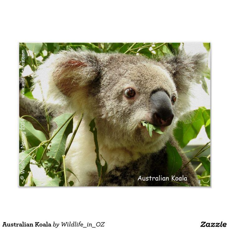 Australian Koala Poster - Click on photo to view item then click on item to see how to purchase that item. #koala #koalabear #bear #poster #wildlife #australianwildlife #zazzle