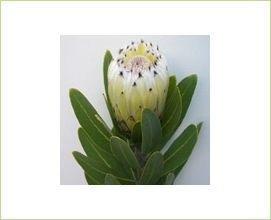 Green Ice - Protea - Proteas and Leucadendrons - Flowers by category | Sierra Flower Finder