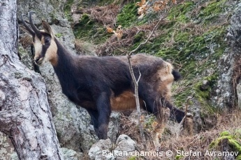 Vote for Europe's Wilderness! Vote for the chamois protection project of our partner organisation, the Bulgarian Biodiversity Foundation, and help combating poaching of chamois in Central Balkan and Rila PAN Parks. Save wilderness!
