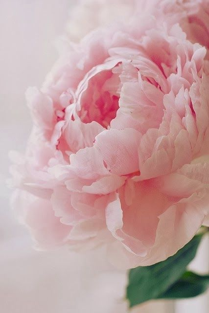 Pink Rose - looks like a peony to me - still beautiful though.
