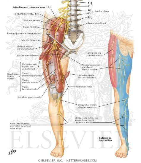 25+ best ideas about femoral nerve on pinterest | spinal nerve, Muscles