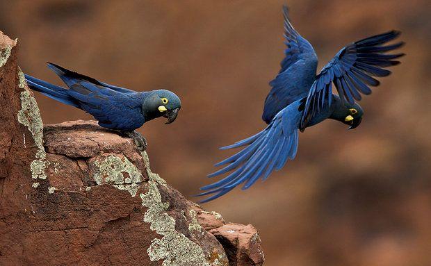 Arara-azul-de-lear: sertão mais